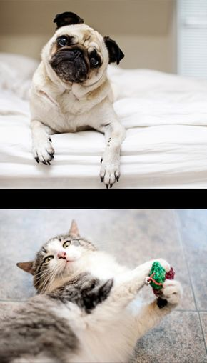 Pug on Bed & Cat playing with toy